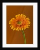 Close Up Of Brilliant Orange Gerbera Against Orange Background by Clive Nichols