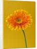 Close Up Of Brilliant Orange Gerbera Against Orangey Yellow Background by Clive Nichols