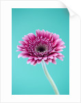 Close Up Of Brilliant Pink Gerbera Against Pale Blue Background by Clive Nichols