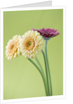 Close Up Of Buff And Pink Gerbera Against Yellow Background by Clive Nichols