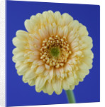 Close Up Of Buff Gerbera Against Blue Background by Clive Nichols