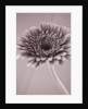Black And White Sepia Toned Image Of Gerbera by Clive Nichols