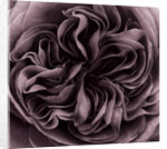 Duotone Image Of Rosa 'gertrude Jekyll' by Clive Nichols