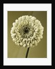 Duotone Image Of A Gerbera by Clive Nichols