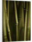 Pw Plants, Norfolk: Duotone Image Of Hardy Bamboo - Fargesia Robusta by Clive Nichols