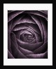 Duotone Image Of Ranunculus by Clive Nichols
