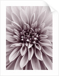 Close Up Duotone Image Of Dahlia 'dazzler'. Flower, Close Up, Pattern, Abstract by Clive Nichols