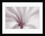 Duotone Image Of Magnolia Stellata Rosea. Close Up, March, Spring, Pale Pink, Fragrant, Fragrance by Clive Nichols