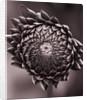 Duotone Image Of Emerging Bud Of Dahlia 'irene Ellen'. Flower, Purple by Clive Nichols