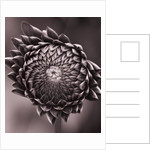 Duotone Image Of Emerging Bud Of Dahlia 'irene Ellen'. Flower, Purple by Clive Nichols