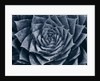 Black And White Duotone Image Of Aloe Polyphylla by Clive Nichols