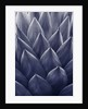 Duotone Image Of Agave Parryi by Clive Nichols