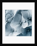 Duotone Image Of Hydrangea by Clive Nichols