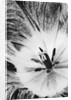Duotone Image Of Centre Of Tulip by Clive Nichols