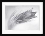 Close Up Black And White Toned Image Of Pulsatilla Vulgaris Subsp Grandis 'papageno' by Clive Nichols