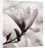 Black And White Duotone Image Of Magnolia 'galaxy'. Spring, Bloom, Tree, Deciduous by Clive Nichols