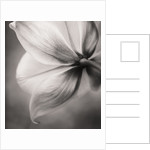 Black And White Duotone Image Of The Back Of The Flower Of Tulip Sylvestris by Clive Nichols