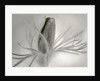 Black And White Duotone Image Of Pulsatilla Vulgaris Heiler Hybrids by Clive Nichols