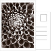 Black And White Close Up Duotone Image Of The Centre Of Dahlia 'cornel'. Pattern by Clive Nichols