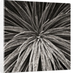 Black And White Close Up Toned Image Of Echium Wilpretii by Clive Nichols