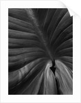 Black And White Close Up Toned Image Of Zantedeschia Aethiopica by Clive Nichols