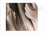 Duotone Image Of Tulip 'purple Rain' by Clive Nichols