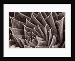 Black And White Close Up Toned Image Of Aloe Polyphylla by Clive Nichols