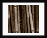 Duotone Image Of Bamboo by Clive Nichols