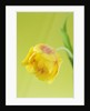 Close Up  Image Of The Flower Of A Yellow Tulip Against A Yellow Background by Clive Nichols