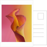 Abstract Close Up Image Of An Orange And Yellow Calla Lily Against Pink And Yellow Background by Clive Nichols
