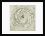 Black And White Duotoned Image Of A Close Up Of The Centre Of A Ranunculus by Clive Nichols