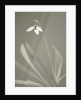 Black And White Toned Image Of A Snowdrop - Galanthus Elwesii by Clive Nichols