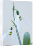 Close Up Of Snowdrop - Galanthus 'ransom's Dwarf' by Clive Nichols