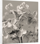John Masseys Garden, Worcestershire: Winter - Black And White Duotone Image Of Frosted Flowers Of Hydrangea Dharuma by Clive Nichols