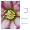 Hellebore - Close Up Of Centre Of Helleborus X Hybridus Harvington Double Pink by Clive Nichols