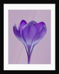Close Up Of Crocus Queen Of The Blues by Clive Nichols