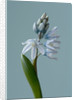 Close Up Of Pale Blue Flowers Of Puschkinia Scilloides V Libanotica (bulb) by Clive Nichols