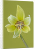 Close Up Image Of The Flower Of Erythronium 'kondo' by Clive Nichols
