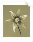 Black And White Duotone Close Up Image Of The Flower Of Erythronium 'kondo' by Clive Nichols