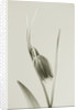 Black And White Close Up Toned Image Of Fritillaria Uva - Vulpis by Clive Nichols