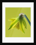 Close Up Image Of Narcissus 'rip Van Winkle' - Butterfly Dwarf Narcissus by Clive Nichols