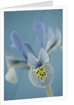 Close Up Of The Flower Of Iris 'katharine Hodgkin' by Clive Nichols