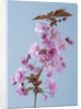 Close Up Of Flowers Of Prunus Kanzan On Blue Background by Clive Nichols
