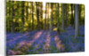 Coton Manor, Northamptonshire: The Bluebell Wood In Spring In Evening Light. Shadows by Clive Nichols
