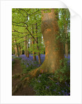 Coton Manor, Northamptonshire: The Bluebell Wood In Spring In Evening Light by Clive Nichols