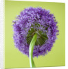 Close Up Image Of The Purple Flower Of Allium Globemaster by Clive Nichols