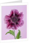 Close Up Image Of The Pink Flower Of The Poppy - Papaver Orientale 'harlem' by Clive Nichols