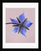 Close Up Of Blue Flower Of Borage (borago Officinalis) On Pink Background by Clive Nichols