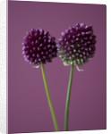 Close Up Of The Purple Flowers Of Allium Sphaerocephalon - Round Headed Leek. Bulb by Clive Nichols