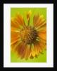 Close Up Of Orange Flower Of Gaillardia St Clements by Clive Nichols